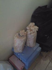jamur 25012014